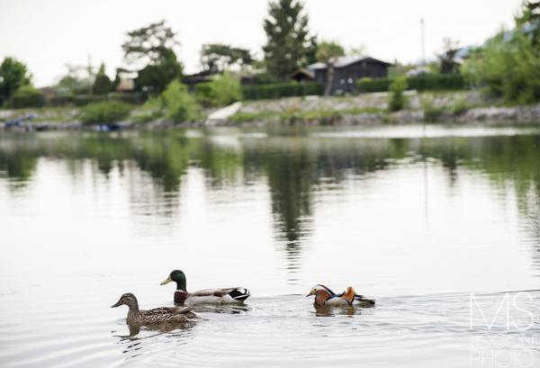 Kaczka Mandarynka zamieszkała w Europie nad Dunajem